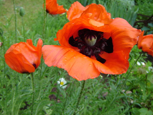Orange poppies.