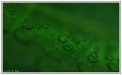 Raindrops (Lindje) Tags: macro green leave groen blad raindrops regendruppels lindje