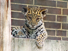 Just cute! (Tambako the Jaguar) Tags: wild baby berlin cute cat zoo cub big feline innocent adorable kitty posing bigcat jag jaguar lovely wildcat onca jaggy felid panthera pantheraonca specanimal abigfave ultimateshot flickrbigcats