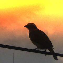 (Luz Adriana Villa A.) Tags: orange bird silhouette backlight canon contraluz colombia powershot peoples villa choice pajaro naranja medellin 430 antioquia blueribbonwinner luza luzadrianavilla luzavilla