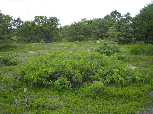 Vaccinium stand in NJ Pine Barrens