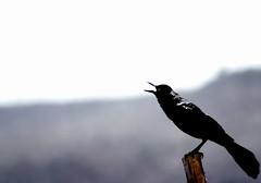 Grito (Memo Vasquez) Tags: bird sonora mxico negro ave grito cuervo pjaro empalme memovasquez