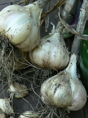 Garlic from garden