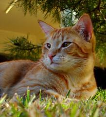 Is that A Bird Over There?? (eliselovesprada-sort of;-)) Tags: male cat ginger feline tiger relaxing ih blueribbonwinner kissablekat bestofcats anawesomeshot impressedbeauty flickrgolfclub