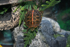 Southern Paint (turtlephotography) Tags: nature water digital canon turtle turtles personalfavorite canonxt dslr habitat hatchling southernpainted southernpaint