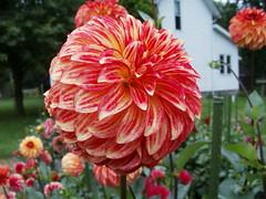 8-15-07 (8) (jlohun) Tags: county dahlia flowers color nature parks elkhart
