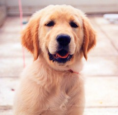 Melina, the Golden Retriever... (poly_mnia) Tags: dog cute dogs goldenretriever puppy retreiver melina blueribbonwinner explored expore dearflickrfriend anawesomeshot impressedbeauty aplusphoto superbmasterpiece diamondclassphotographer flickrdiamond