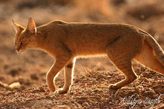Jungle cat 4 (dickysingh) Tags: wild india nature outdoor wildlife aditya wildcat ranthambore singh ranthambhore dicky smallcat junglecat ranthambhorebagh adityasingh dickysingh ranthamborebagh theranthambhorebagh