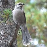 Perisoreus canadensis (Gray Jay) thumbnail