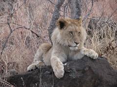 Scrutando l'orizzonte (roberto_il_pisano) Tags: africa lion social pisa event zimbabwe rest leone savana lionwalk superhearts nginationalgeographicbyitalianpeople pisasocialevent