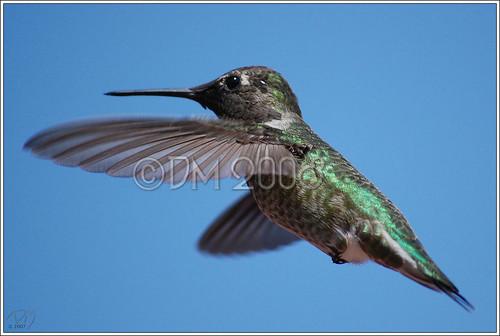 Black-chinned Hummingbird (Archilochus alexandri) #1 9-09-07 **Explore**