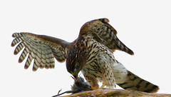 Cooper's Hawk Eating Bird (Hard-Rain) Tags: bird nature animal illinois hawk wildlife aves raptor prey predator coopershawk plainfield accipiter falconiformes accipitercooperii dupageriver accipitrinae explore3 specanimal shieldofexcellence avianexcellence acciptridae