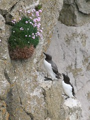 Guillemot and Razorbill