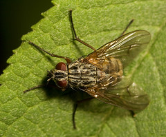 """Hairy Fly(3) • <a style=""""font-size:0.8em;"""" href=""""http://www.flickr.com/photos/57024565@N00/1442751326/"""" target=""""_blank"""">View on Flickr</a>"""