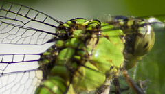 dragonfly back (davedehetre) Tags: green eye back wings dragonfly plate armature segmented