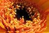 GERBERA. Close up of a yellow gerbera (eagle1effi) Tags: flowers flower macro nature yellow fauna germany favoriten deutschland flora flickr bestof photos natur blumen selection foliage gerbera fotos fiori blume fiore supermacro tuebingen auswahl beste tübingen damncool tubingen württemberg badenwuerttemberg selektion tubinga lieblingsbilder eagle1effi referenceshot byeagle1effi naturemasterclass ae1fave meteringmodespot yourbestoftoday canonpowershotsx1is supermacroon2 dibenga stadttübingen beautifulcityoftubingengermany beautifulcityoftübingengermany tagesbeste dibengâ tubingue