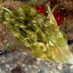 IMG_5405acrre Planehead Filefish (Stephanolepis hispidus) thumbnail