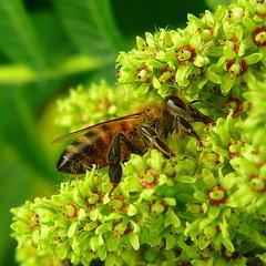 Miam... (meuh57) Tags: nature fleur countryside sumac campagne abeille insecte naturesfinest supershot interestingness336 ishflickr