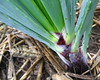 garden #2971: onion manifold