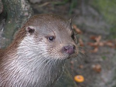 Otter! (berryvantuijl) Tags: nature zoo rotterdam blijdorp oneofakind coolest globalvillage dierentuin beautifulcapture impressedbeauty onlythebestare jalalspagesanimalkingdom berryvantuijl coolestphotographers