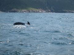 Fin (garrettmurray) Tags: vacation canada water novascotia whales whalewatching 2007 pleasantbay capebretonisland travel:country=canada travel:provence=novascotia