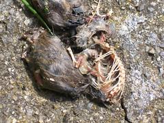Verschmhte Maus (erdeundluft) Tags: mouse tot tod maus moder gerippe kadaver verwesung trashbit