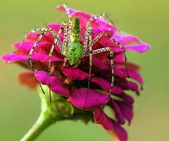 He's still here! (ScreaminScott) Tags: green topv111 spider arachnid naturesfinest lynxspider flickrsbest anawesomeshot colorphotoaward ahqmacro