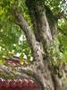 96.09.15六龜尾莊路台灣唯一克蘭老樹DSCN2055