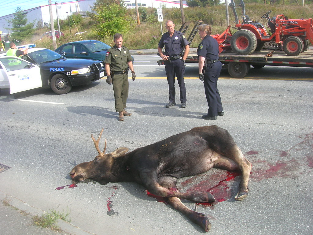 The world 39 s best photos of accident and moose flickr for Motor city bangor maine