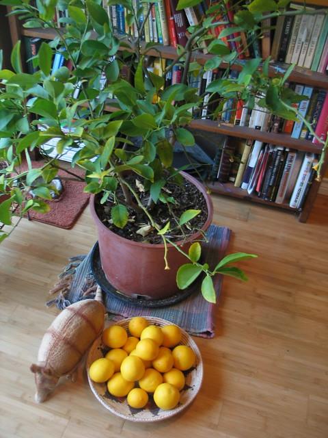 Lemons harvested.