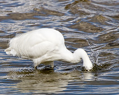 I know its in there some where (Andrew Haynes Wildlife Images) Tags: bird nature wildlife rutland egret rutlandwater egleton canon7d ajh2008