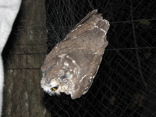 Saw-whet Owl in the net