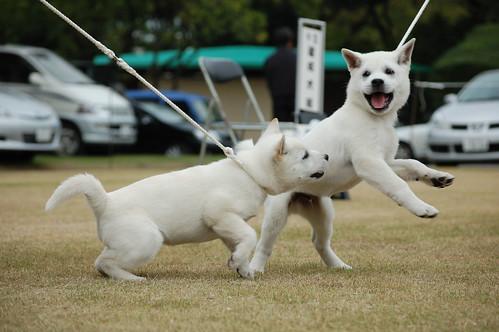 Kishu Pups