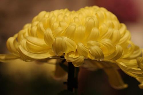 Chrysanthemum × morifolium Ramat.