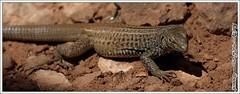 Desert Lizard (EastStorm) Tags: park utah lizard national canyonlandsnationalpark canyonlands