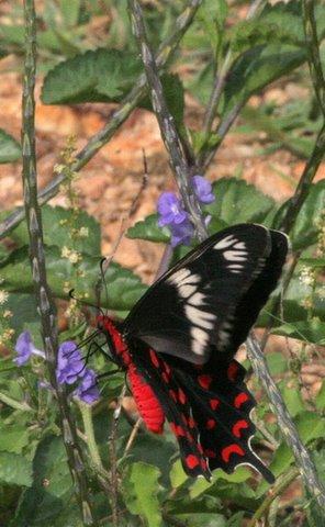 Crimson Rose on WildFlower