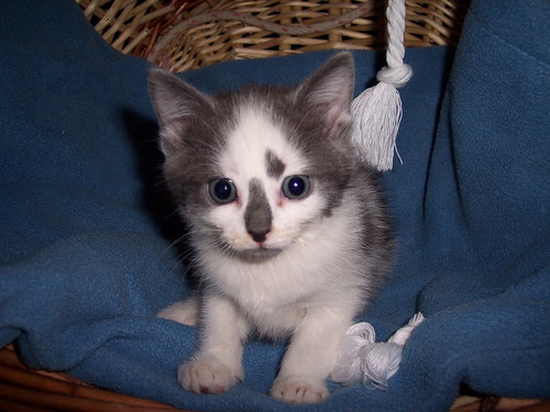 6 week old grey and white kitten, unnamed at this time