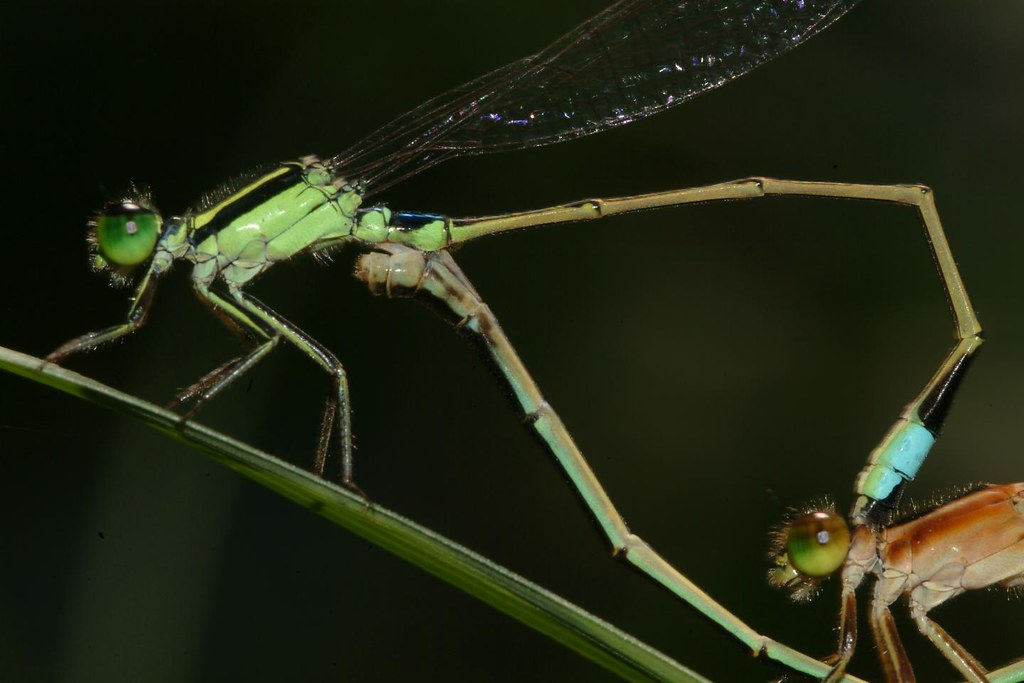 Ischnura senegalensis, mating, close-up