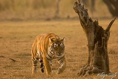Ranthambore tiger stalking (dickysingh) Tags: wild india nature outdoor wildlife tiger aditya ranthambore singh bengaltiger ranthambhore dicky tigerreserve ranthambhorebagh bfgreatesthits adityasingh dickysingh ranthamborebagh theranthambhorebagh
