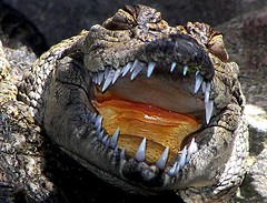 where is my toothbrush? (aycasan) Tags: animal turkey trkiye crocodile soe timsah hayvan naturesfinest mywinners aplusphoto