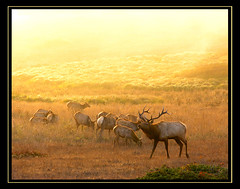 Tule Elk--Back from the Brink of Extinction (MistyDays / CB) Tags: california autumn light sunset wild usa fall nature northerncalifornia yellow golden coast natural pacific wildlife foggy antlers pacificocean utata marincounty coastline karma firstplace elk bluffs tomalespoint pointreyesnationalseashore breedingseason tuleelk wildelk rutt charleneburge speciallight stormygirl mywinners nearthepacific naturewatcher