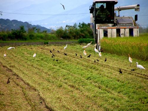 萬安有機米栽培區:收割機與鳥兒的大餐
