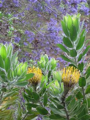 Day7 : Maui - Kula Botanical Garden (Amudha Irudayam) Tags: flowers beach garden botanical hawaii maui kula amudha