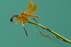the golden winged fairy and the long legged pixie