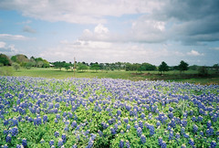 Bluebonnets (berenix93) Tags: usa texas fiori bluebonnets splendiferous colorphotoaward ultimateshot gruosss berenix93