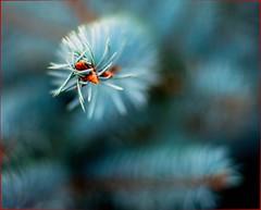 Blue Spruce... (DriveByPhotographer) Tags: flowers newcastle co abigfave