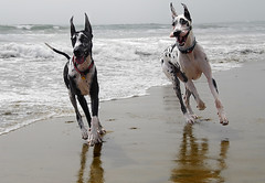 Happy California Danes (Nick  Carlson) Tags: pictures ocean dog beach photography photo photos pics carlson nick picture pic greatdane dane harlequin bodhi workingclass maggiemae largebreed showdog largedog aplusphoto nickcarlson truelifeimages thebodhisattva nickcarlsonphotography