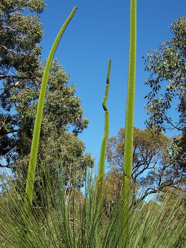Xanthorrhoea spikes
