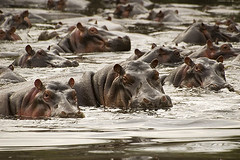 Hippos (elosoenpersona) Tags: africa tanzania safari hippo hippopotamus serengeti hipopotamo 25faves specanimal aplusphoto diamondclassphotographer elosoenpersona