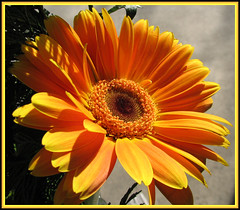 "My Sunshine flower...""EXPLORE"" (lonniejean3484 Back From Vacatioin....) Tags: sensational visualart blueribbonwinner otw supershot bej golddragon mywinners abigfave anawesomeshot flickrdiamond theunforgettablepictures overtheexcellence theperfectphotographer coloursplosion goldstaraward excellentsflowers rubyphotographer vosplusbellesphotos alittlebeauty naturescreations internationalflickrawards"